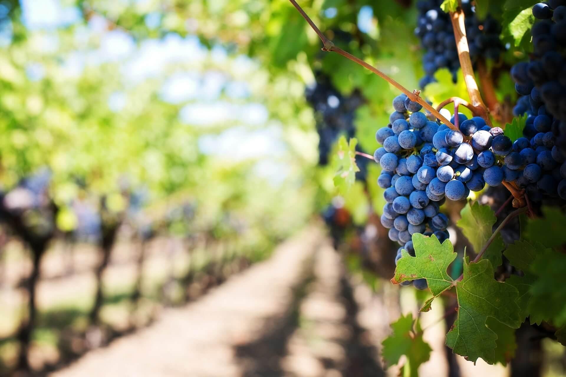 ワインの嗜み方の葡萄の画像