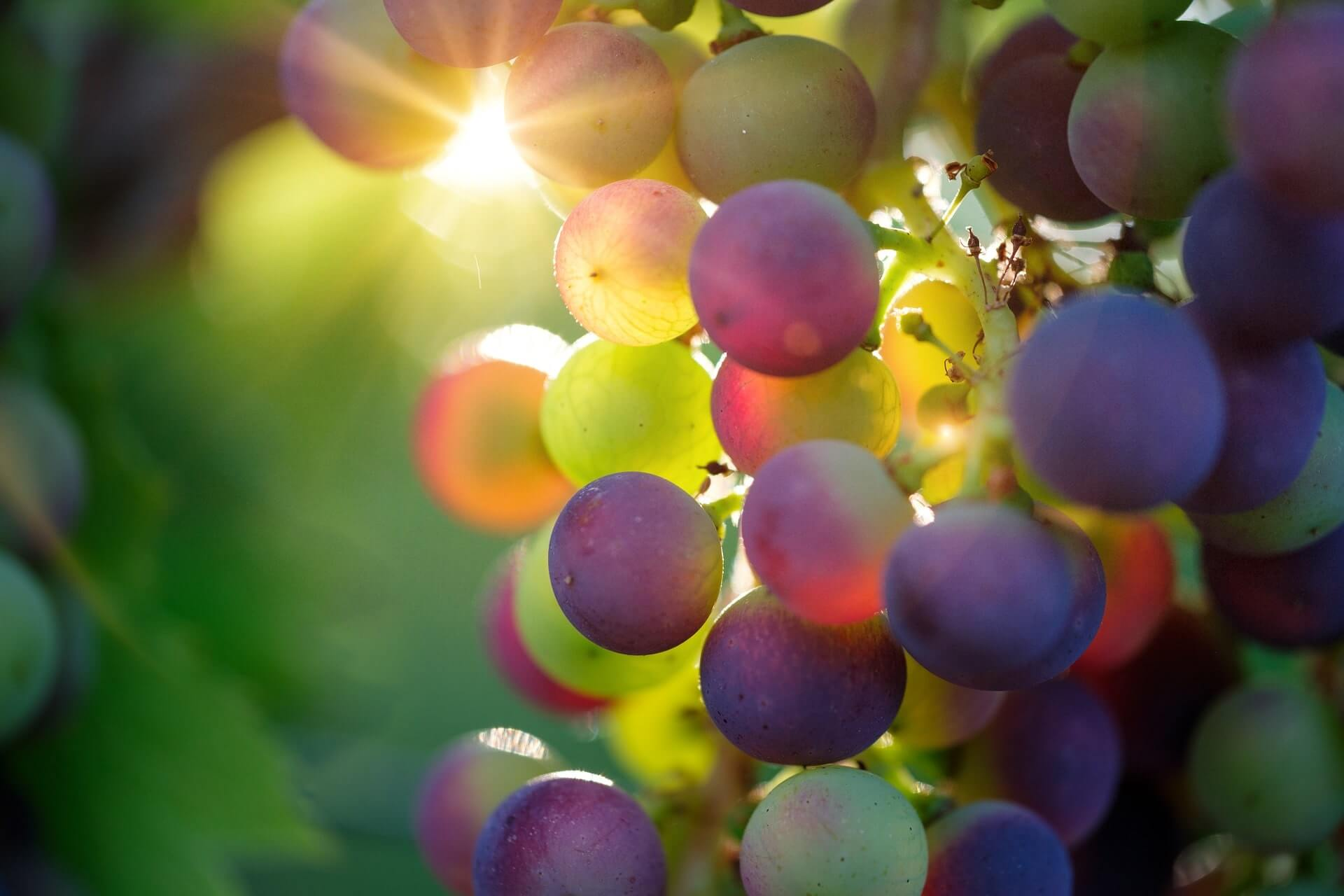 ワインの嗜み方の葡萄のアップの画像