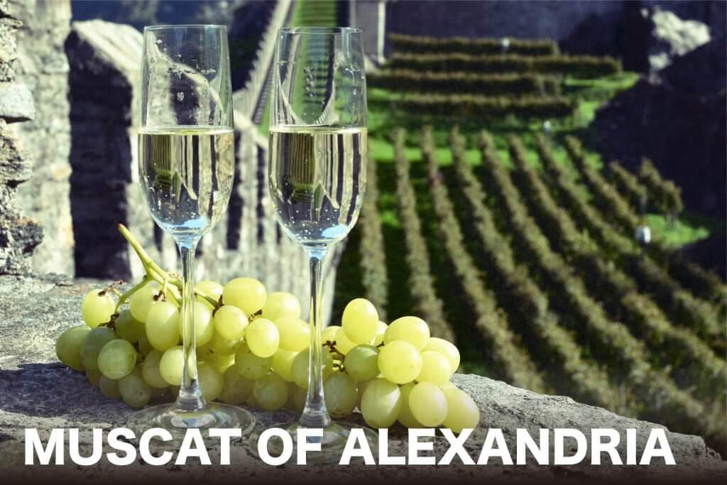 スカット・オブ・アレキサンドリア(ワイン)のメインビジュアルの画像